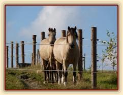 Zobrazit (96 fotek) Stádo hřebců i stádo klisen, dovádění na pastvinách...