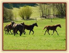 Zobrazit (27 fotek) 17.4. jsme vypustili všech 35 koní na pastviny:-)