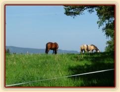 Zobrazit (66 fotek) Koně dovádí po příchodu na novou pastvinu