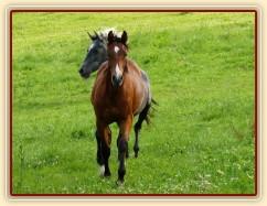 Zobrazit (59 fotek) Přehánění koní na další pastvu...