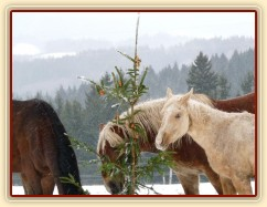 Zobrazit (58 fotek) Jak si koně užívali vánoční stromky s překvapením:-)