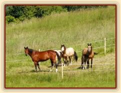 Koně na pastvě