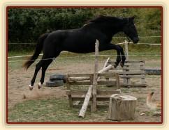 Arwen skáče ve skokové řadě ve volnosti