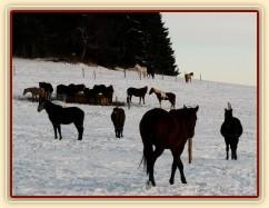 Koně v zimním výběhu