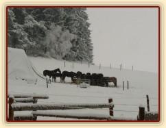 Koně u sena při sněhové bouři