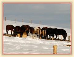 Celé stádo 15ti koní u sena