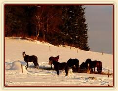 Koně u sena