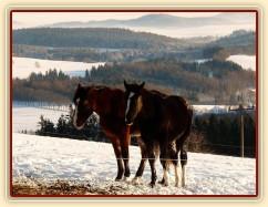 Vypadají jako ségry:-) roční a dvouletá kobylka Irish Sport Horse