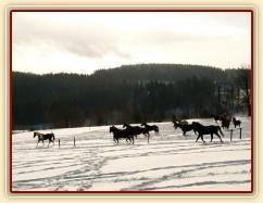 Stádo běhá po výběhu - snaha vyfotit koně v pohybu (jinak celou zimu jen stojí u seníku a cpou se:-)