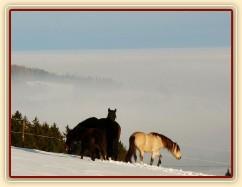 Koně bloumají po výběhu