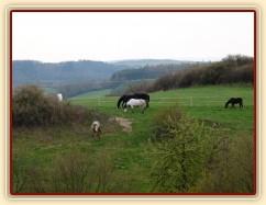Květen 2010, stádo hřebců na pastvině