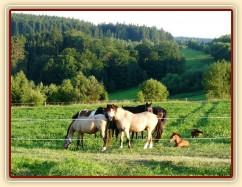 Červenec 2010, stádo na nové pastvině, hříbata odpočívají