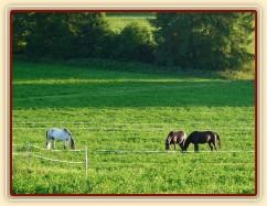 Červenec 2010, hřebci na nové pastvině