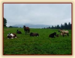 Červenec 2010, stádo odpočívá