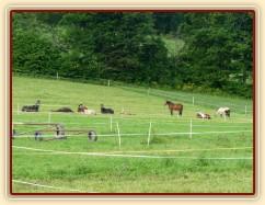 Srpen 2010, stádo má polední siestu:-)