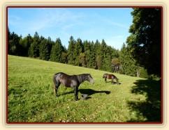 Srpen 2010, krmení jádrem na pastvině