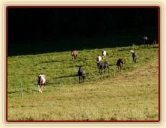 Srpen 2010, stádo je voláno na krmení jádrem