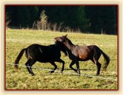 Září 2010, hřebci Carthago a Monty si hrají