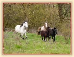 Duben 2010, stádo hřebců běhá po vypuštění na pastviny