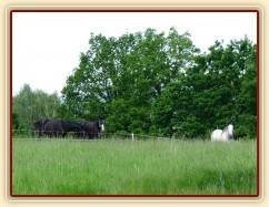 Červen 2010, hřebci na pastvě