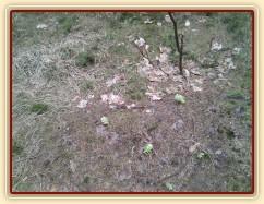 23.3.2011 - Začíná jaro, květů je čím dál víc:-) Léčivá bylinka Devětsil