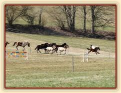 2.4.2011 - První vypuštění koní na pastvu, bylo veselo:-)