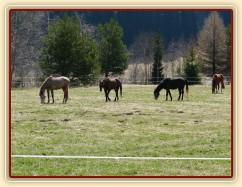 2.4.2011 - První vypuštění koní na pastvu, stádo hřebců