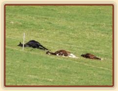 """2.5.2011 - Hřebci spí na pastvině, čtyřletý Carthago a jím """"adoptovaní"""" roční hřebečci, všichni v hlubokém spánku"""
