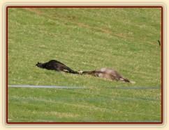 2.5.2011 - Hřebci spí na pastvině, čtyřletí Rybíz a Dukát, hluboký spánek:-)