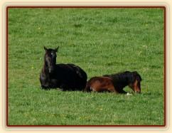 Čtyřletý Carthago a roční Gimli spí na pastvině