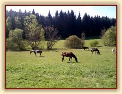 10.5.2011 - Koně si užívají trávu na pastvině u potoka