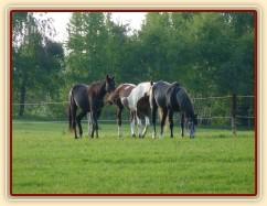 Arwen, Vikina a Jared, dospělý základ našeho stáda