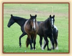 Dvouletá a tříletá kobylka Irish Sport Horse