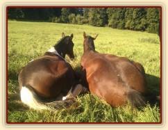17.9.2011 - Odpočinek na pastvině, roční a dvouletý hřebec, čím blíže u sebe, tím jsme víc v bezpečí:-)