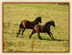 Dva noví přírůstci ve stádě, roční hřebečci Ramon a Zephyr