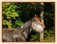 Čtyřletý lipický hřebec Rybíz a roční hanoverský hřebeček Ramon si začínají hrát...