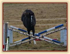 Dvouletá klisna Kroona, Irský sportovní kůň