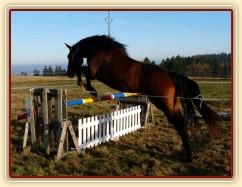 Tříletá klisna Highland, Irský sportovní kůň