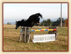 Čtyřletý hřebec Carthago, trakén, zadní nohy krčí opravdu pořádně:-)