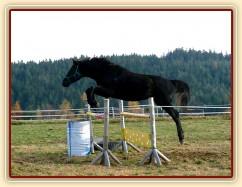 Čtyřletý hřebec Carthago, trakén, pěkný styl nad oxerem 110cm vysokým