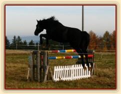 Čtyřletý hřebec Carthago, trakén, s rezervou přeskakuje skok 120cm vysoký