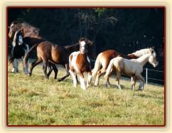 Při začleňování nových hřebců do stáda je vždy veselo:-)