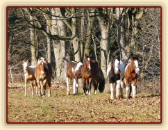 Noví členové stáda, Irští Cobové, za nimi skupinka zvědavých hřebců