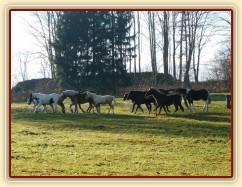 Noví členové stáda, Irští Cobové, vedou procesí ostatních hřebců
