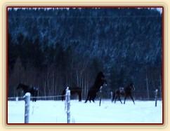 Koně dovádějí při svítání, na fotce dvouletá klisna (nejenom hřebci řádí:-) . (Kvalita fotek je horší, bylo hodně málo světla, teprve svítalo...)