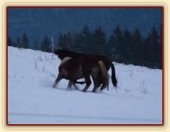 Koně dovádějí při svítání, dvouletý norik Cherokee a roční hannover Ramon. (Kvalita fotek je horší, bylo hodně málo světla, teprve svítalo...)
