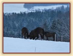 Koně dovádějí při svítání, roční Gimli a Zephyr. (Kvalita fotek je horší, bylo hodně málo světla, teprve svítalo...)