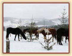 Koně hledají mrkve na větvích