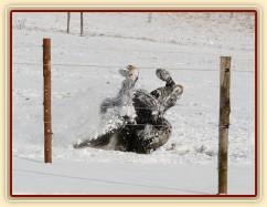 """""""Obalování se"""" ve sněhu, aneb přeměna černého koně na bílého:-)"""