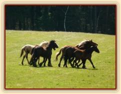 Stádo hřebců na poprvé letos na trávě, samozřejmě bylo veselo:-)